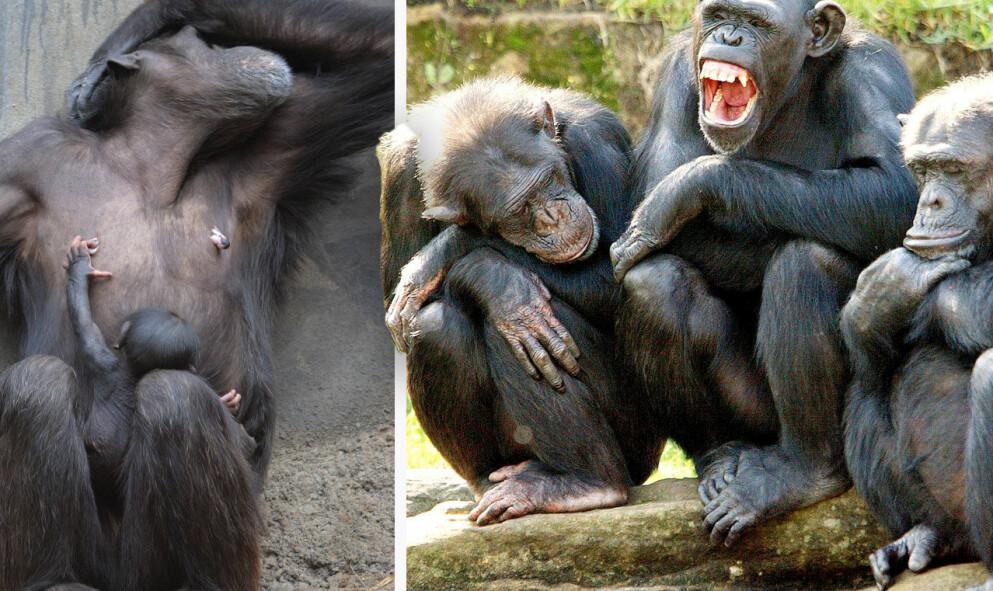 Schimpanser på Odense Zoo rök ihop på söndagen