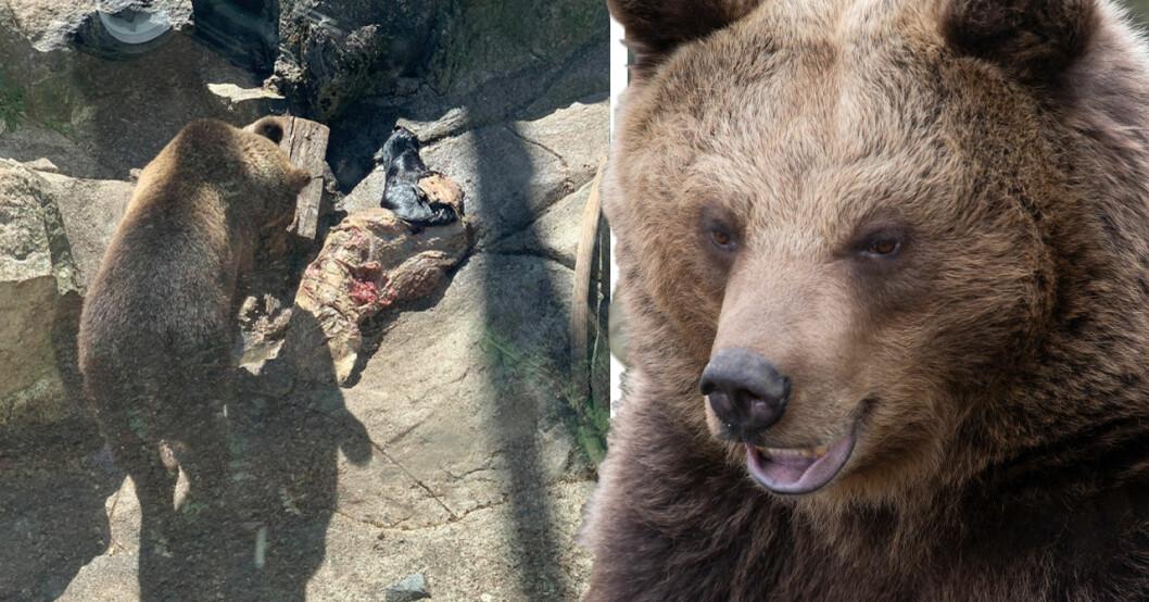 Björn på Skansen äter stort djur