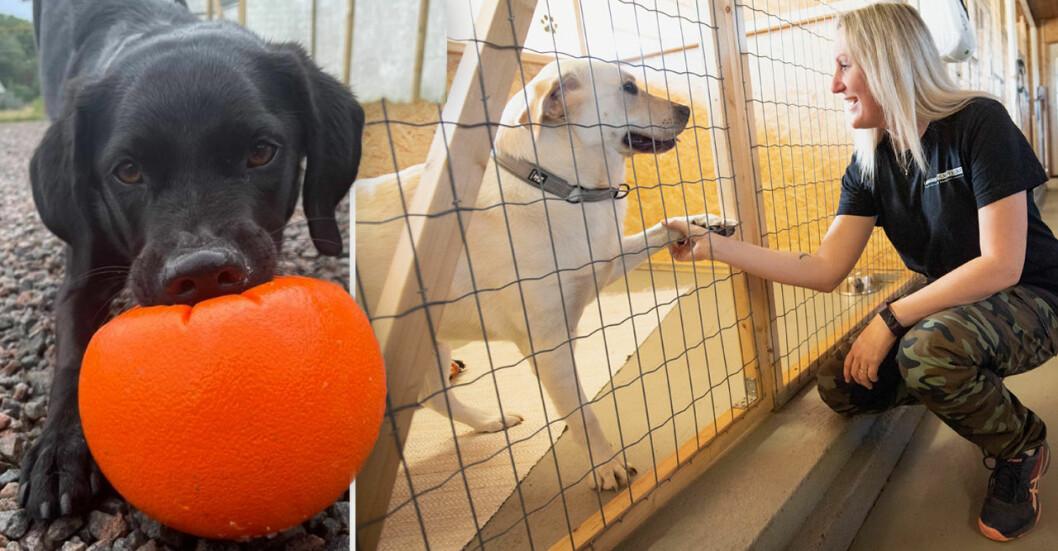 Jeanette Persson på Larsgårdens hundpensionat är oroad över ökningen av pandemihundar som hon kallar dem.