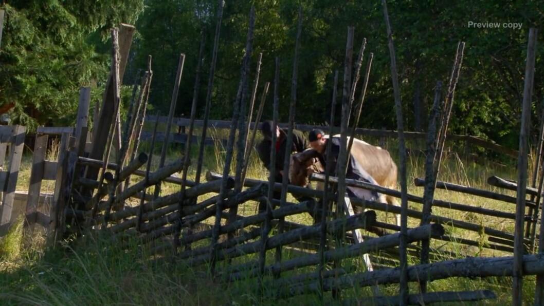 Det gick vilt till på Farmen när kossan skulle mjölkas –något som slutade med en skadad hand.