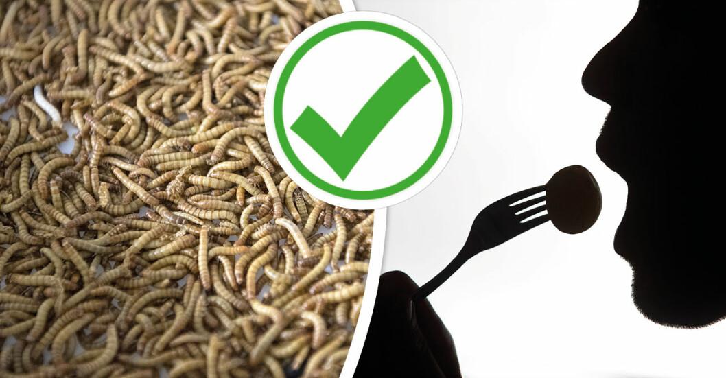 EU har nu godkänt mjölmask som proteinkälla.