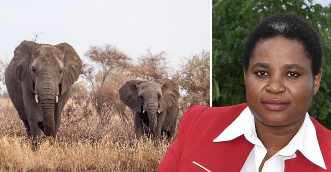 Simiso Mlevu är kritisk till hur Zimbabwes myndigheter hanterar elefanter i landet.